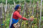 Woman harvest tomato
