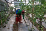 Green house and drip irrigation system for vegetable production