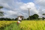 Farming in Kimbulawela wetlands, located in Colombo, Sri Lanka