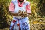 Safekeeping madhumbe (taro) seedlings for the next season in a wetland plot