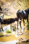Cattle in the wetlands of Craigieburn