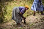 Elderly farmer working her madhumbe crop (Taro), Craigieburn