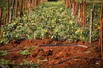Tomato crop under harvest in Nkomazi, South Africa