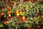 Tomato crop under drip irrigation method, Nkomazi, South Africa