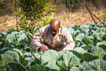 Farmer checking on his cabbage crop