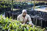 Farmer showing grafted macadamia trees in the nursery, White River, South Africa