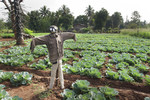 Cabbage crop and scarecrow
