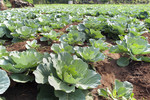 Close-up of cabbage crop