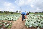 Farmer working in his cabbage farm