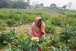 Woman checking on cauliflower crop