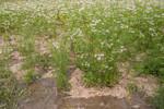 Onion flower plantation using solar irrigation