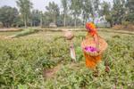 Woman plucking brinjals