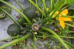 Bitter bottle gourd plant