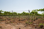 Grapevine plantations using Drip irrigation at the Abu Kishik Farm