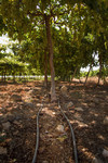 Close-up of a Grapevine plantations using Drip irrigation at the Abu Kishik Farm