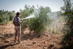 Pesticides spraying at the Abu Kishik Farm in Mafraq, Jordan