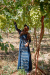 Farmer Picking grapes at the Abu Kishik Farm in Mafraq, Jordan