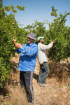 Farmers plucking pomegranate at the Abu Kishik Farm