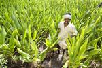 Turmeric farm in India
