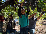 Table grapes harvest