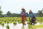 Women engaged in paddy transplanting