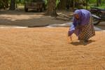 Farmer drying maize