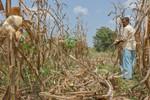 Farmer harvesting maize